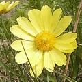 Цветок из лютиковых 6 букв сканворд