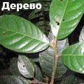 ядовитое дерево 5 букв - фото 4