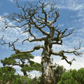ядовитое дерево 5 букв - фото 2