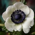 Цветок ветреница сканворд 6 букв
