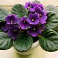 Фиолетовый цветок 6 букв сканворд на к
