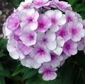 Пламенный цветок сканворд 5 букв