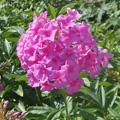 Садовый цветок 5 букв сканворд