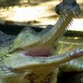 гангский крокодил сканворд 6