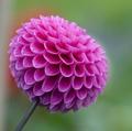 Крупный садовый цветок 7 букв