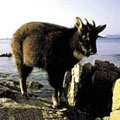 гималайский козел 3 буквы - фото 5