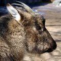 гималайский козел 3 буквы - фото 3