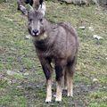 гималайский козел 3 буквы - фото 4