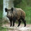 самец домашней свиньи 5 букв