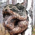 нарост на дереве 3 буквы - фото 2