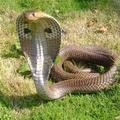 змея с капюшоном 5 букв img-1