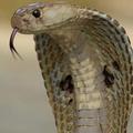 змея с капюшоном 5 букв - фото 6
