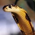 змея с капюшоном 5 букв - фото 4