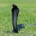 змея с капюшоном 5 букв - фото 3