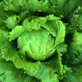 салатное растение 7 букв сканворд - фото 11