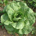 салатное растение 7 букв сканворд - фото 10