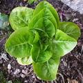 салатное растение 7 букв сканворд - фото 6