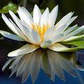 Цветок будды сканворд 5 букв