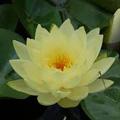 цветок будды 5 букв