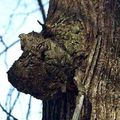 нарост на дереве 3 буквы - фото 11