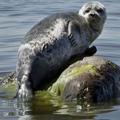 байкальский тюлень 5 букв ответ