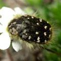 мохнатая бронзовка насекомое жук семейства пластинчатоусых 6