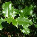вечнозеленый кустарник 5 букв