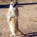 южноафриканский мангуст 7 букв