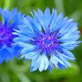 красивый цветок сорняк 5 букв - фото 4