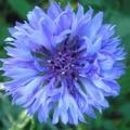 красивый цветок сорняк 5 букв - фото 6