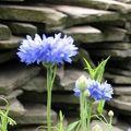 красивый цветок сорняк 5 букв - фото 9