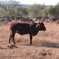 корова индусов 4 буквы сканворд - фото 5